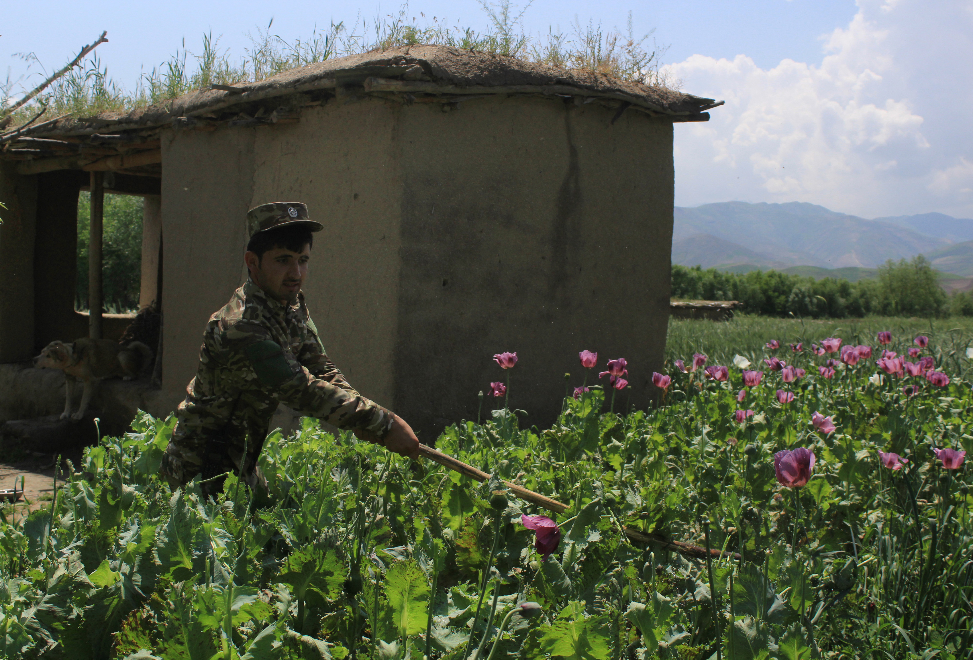 مقامات می گویند: طالبان به کلان ترین مافیای مواد مخدر افغانستان تبدیل شده اند