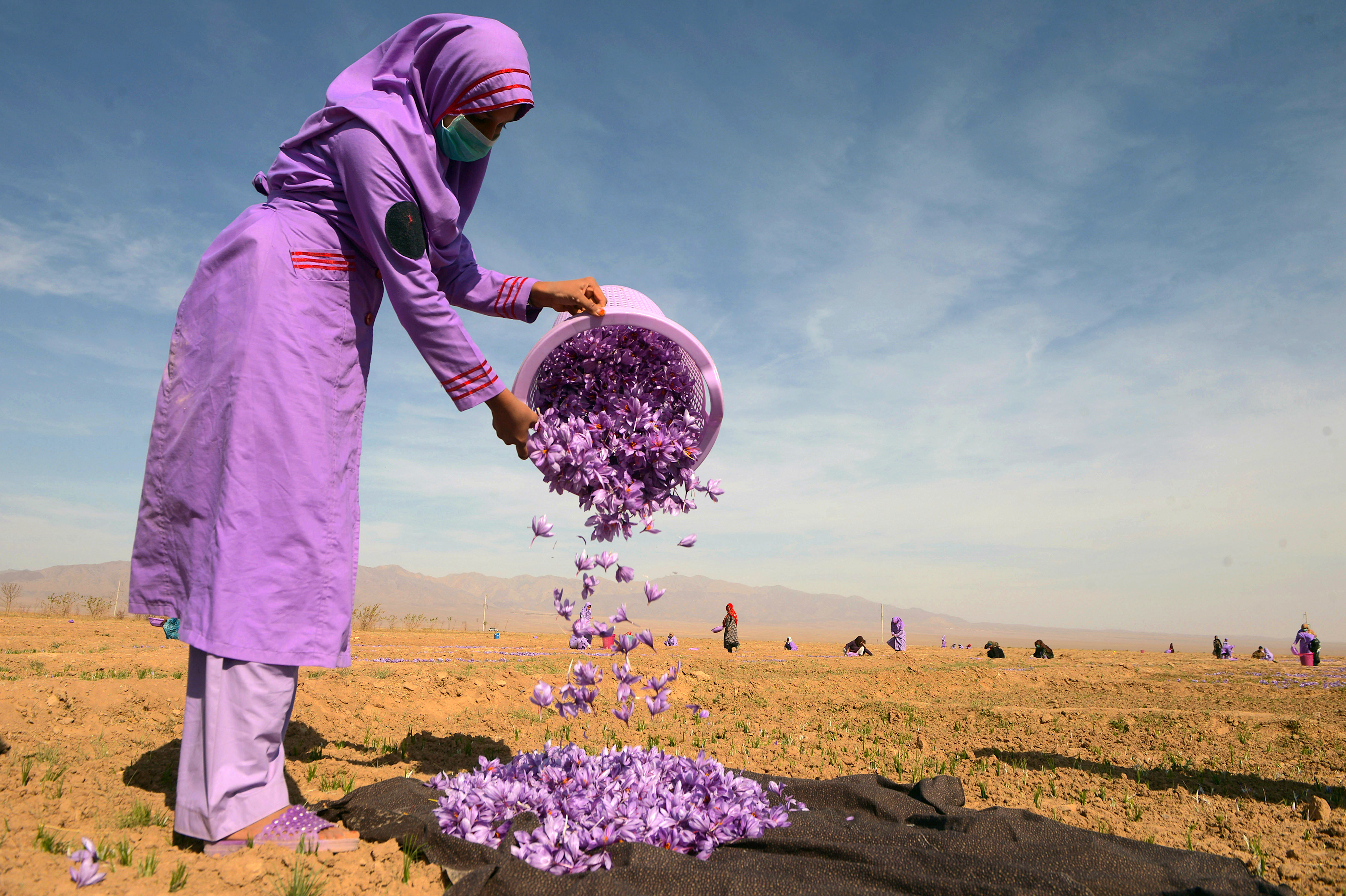 In photos: Afghan saffron sees increase in production, revenue