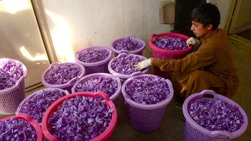 An Afghan boy October 27 sorts out saffron flowers that were picked on the outskirts of Herat. [Hoshang Hashimi/AFP]