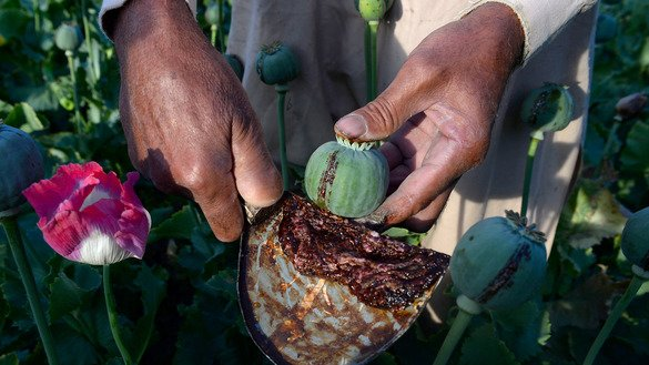 An Afghan farmer harvests opium sap in Surkh Rod District, Nangarhar Province, April 21. International donors have spent billions of dollars to eliminate drugs from Afghanistan, but the country remains the world's top opium producer. [Noorullah Shirzada/AFP]
