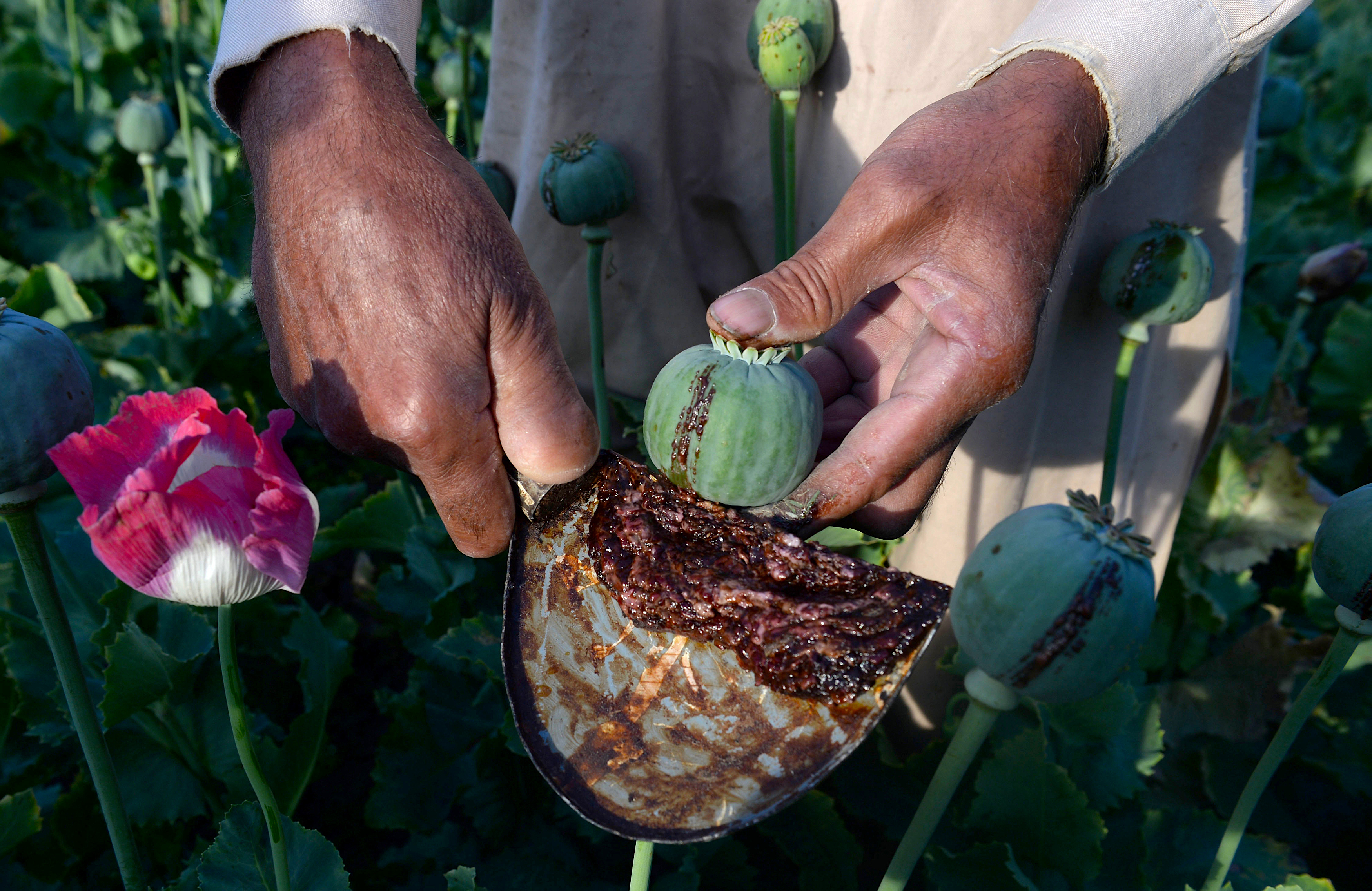Opium eradication efforts double in the face of record production