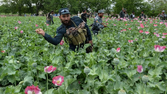 Afghan security personnel destroy an illegal poppy crop in Surkh Rod District, Nangarhar Province, April 5. [Noorullah Shirzada/AFP]