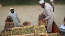 Nangarhar sees unprecedented increase in olive production