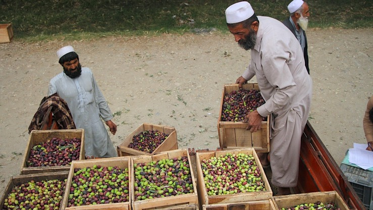 Afghan farmers November 14 stack newly harvested olives, ready to be processed into oil and pickled olives in Nangarhar Province. [Khalid Zerai]