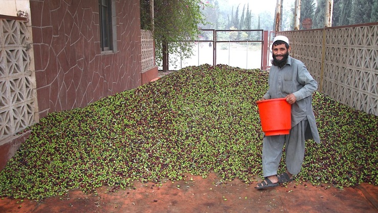 Nangarhar Province has seen a bumper olive harvest this year, thanks to the support and funding of the Nangarhar Canal Directorate and Ministry of Agriculture. [Khalid Zerai]