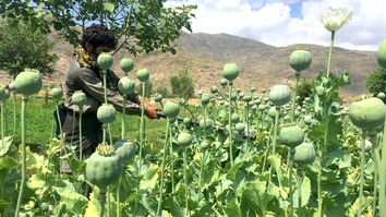 Counter-narcotics personnel destroy poppy crops in Khewa District, Nangarhar Province, April 10. [Khalid Zerai]