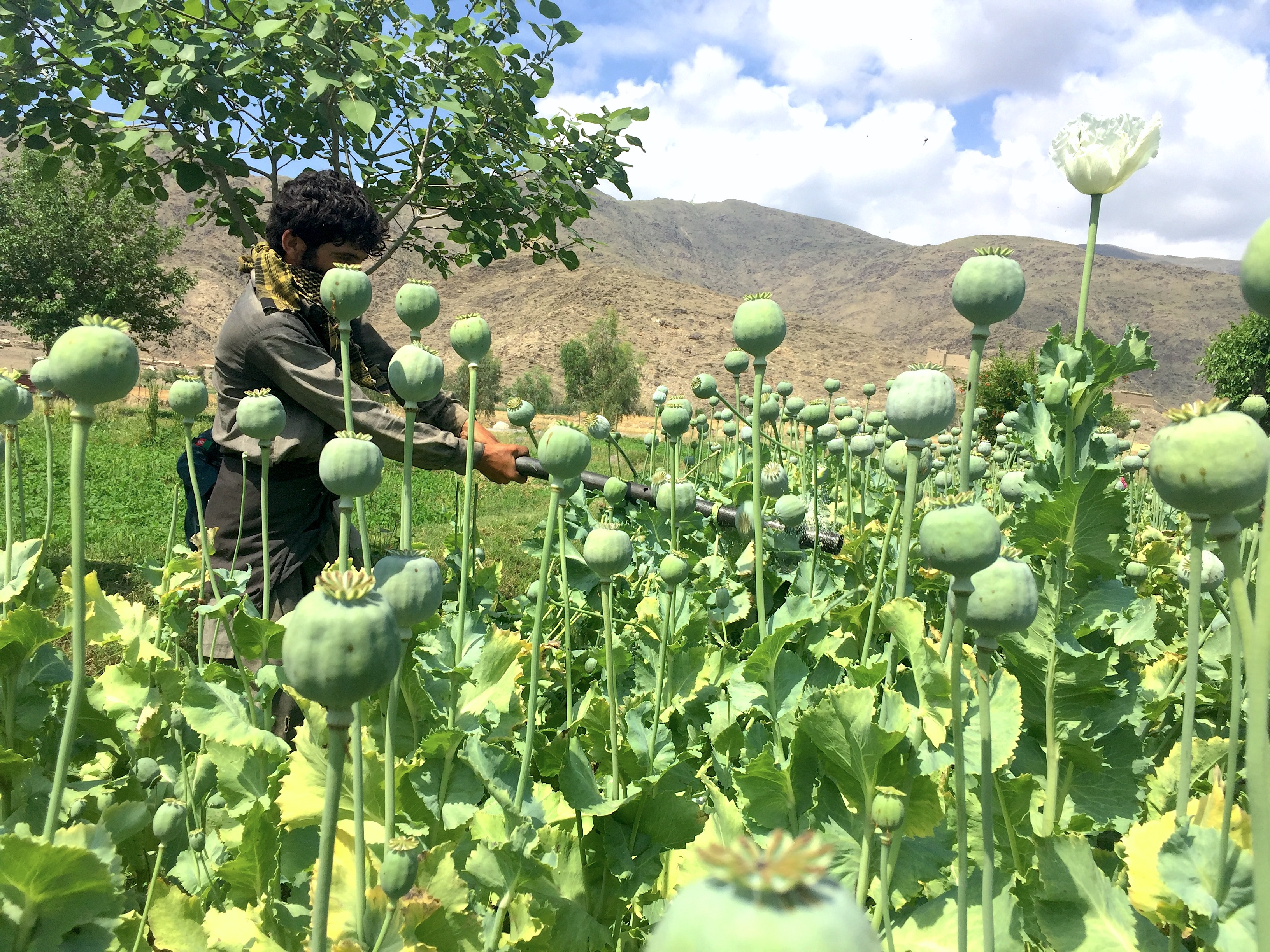 Opium poppy eradication campaign aims to wipe out Taliban funding sources