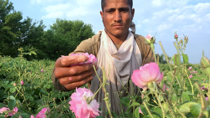 An Afghan farmer picks roses on April 15 in Fateh Abad village of Surkh Rod District, Nangarhar Province. [Khalid Zerai]
