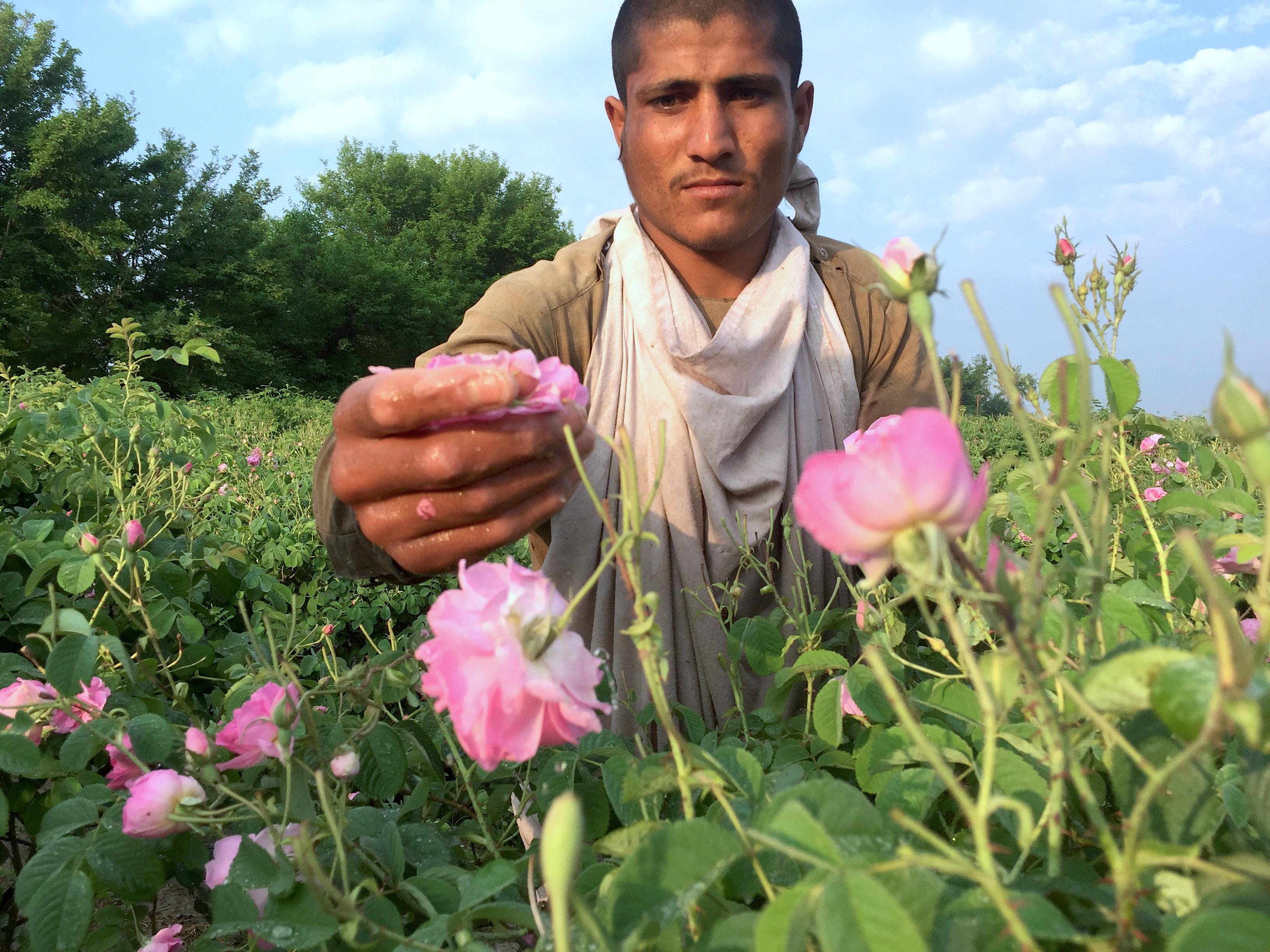 Nangarhar farmers choose roses over poppy, avoid funding Taliban
