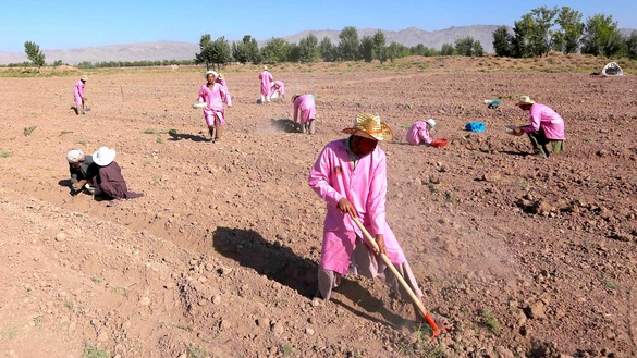 Afghan workers prepare the ground for planting saffron bulbs August 11 in Herat city. [Nasir Salehi]