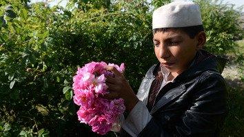 افغان بزګرانو د کوکنارو پر ځای د ګلابو له کرلو څخه ګټه ترلاسه کړه