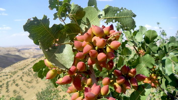 A pistachio tree is shown in  Ab Kamari District, Badghis Province, July 26. [Nasir Salehi]