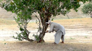A suspected member of a local militia fells a pistachio tree with a handsaw in Ab Kamari District, Badghis Province, July 26. [Nasir Salehi]