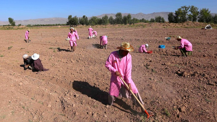 Afghan workers till the ground before planting saffron bulbs on August 11 in Herat city. [Nasir Salehi]