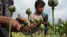 تعهد زارعین و مقامات ننگرهار برای ریشه کنی زراعت کوکنار