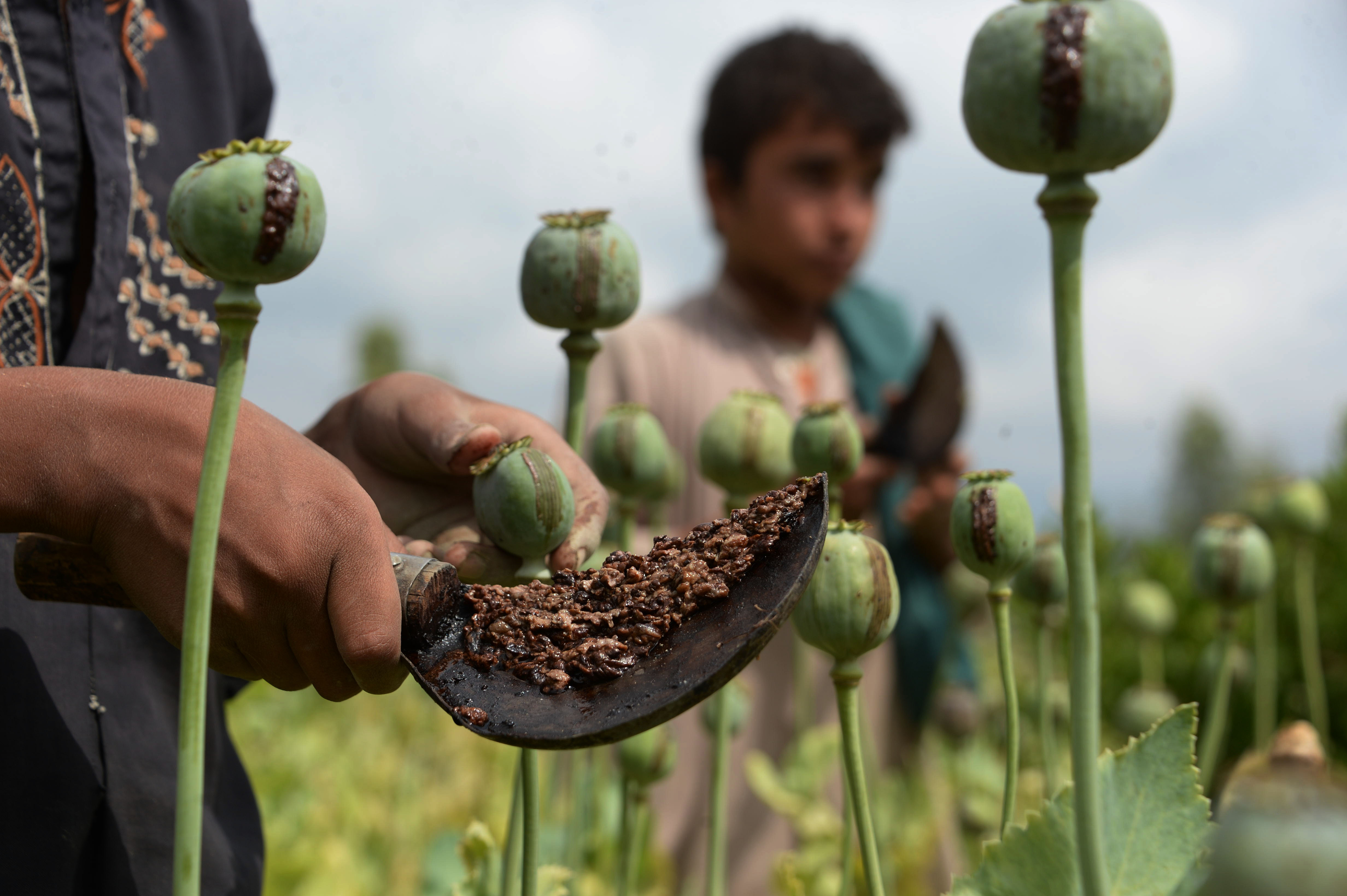 Nangarhar farmers, officials pledge to wipe out poppy crops