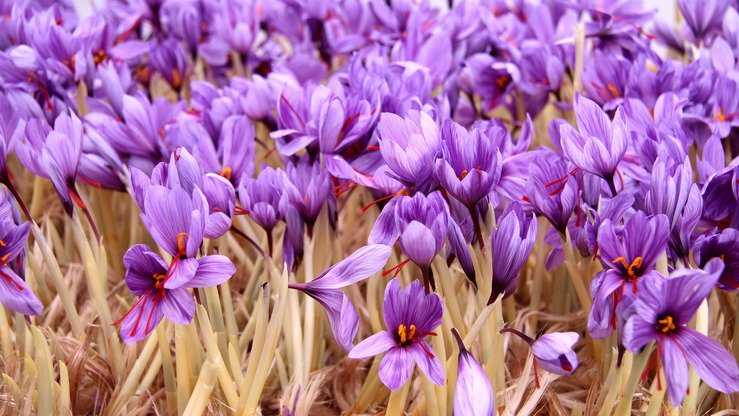 A saffron farm in Herat Province is shown November 11. Saffron production in Afghanistan more than doubled in 2016 after Afghan saffron was ranked the best in the world, according to the government. [Omar]