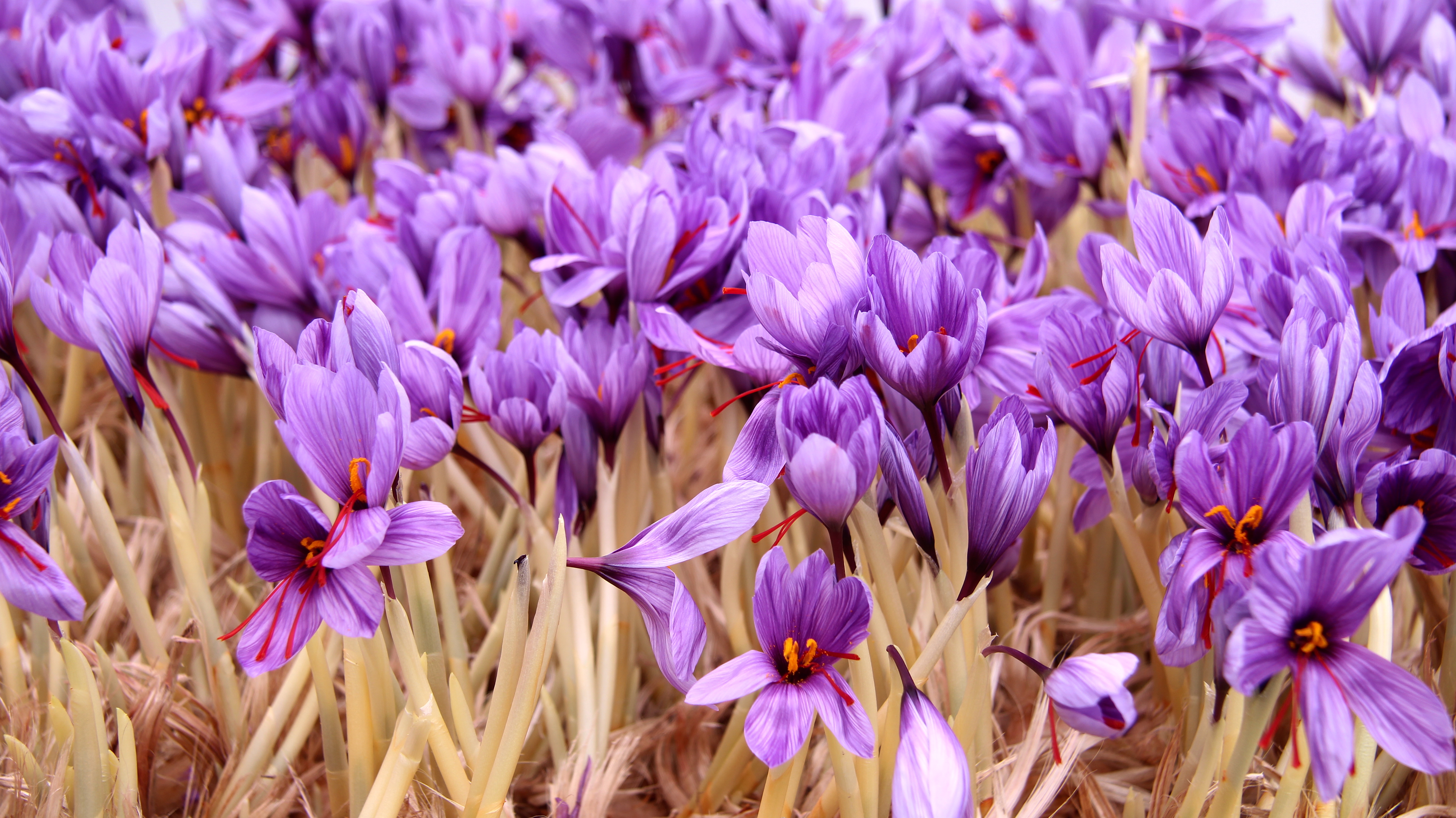 Herat authorities work to implement ban on Iranian saffron imports