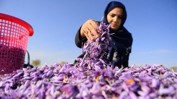 A worker sorts harvested saffron flowers in a field in Herat Province November 13. [Hoshang Hashimi/AFP]