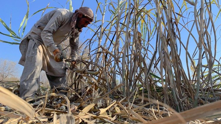 A farmer harvests sugar cane for gora production in Kama District, Nangarhar Province, December 26. [Khalid Zerai]