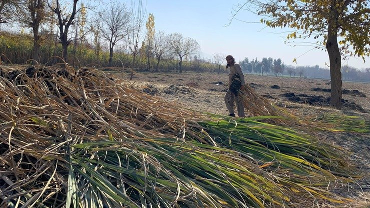 A farmer prepares to cultivate sugar cane cuttings for planting on other fields in Kama District, Nangarhar Province, December 26. [Khalid Zerai]