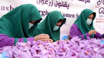 دهاقین زعفران در افغانستان با تعزیرات بالای واردات زعفران ایران از قیمت های بلند خوشحال اند