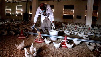 Illegal dumping of Iranian chicken products cripples Afghan poultry farmers