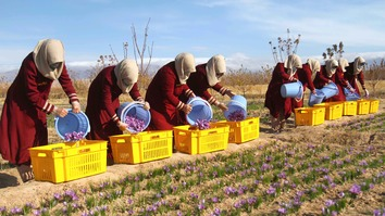 More Herat farmers turn to saffron as alternative to poppies