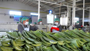 Afghan farmers find aloe vera more profitable than opium poppies