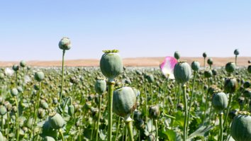 Herat farmers denounce the Taliban for forcing them to grow poppies