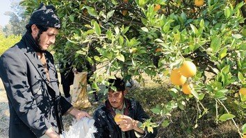 Bati Kot citrus farms get major boost after liberation from Taliban