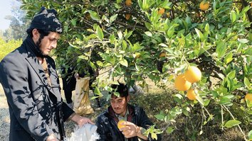 With Taliban ousted, Nangarhar farmers eye profits from new fruit orchards