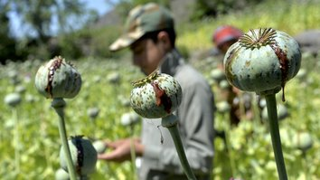 UN reports nationwide drop in poppy cultivation in Afghanistan